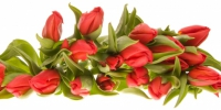 red tulips - Наше Слово